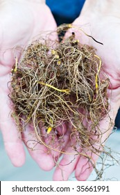 Freshly harvested Goldenseal commonly known as Yellow Root.
