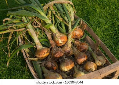 Freshly Harvested Home Grown Organic Onion Vegetables (Allium cepa) Drying in a Wooden Crate on a Green Grass Background in a Country Cottage Garden in Rural Devon, England, UK