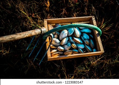 A freshly harvested Maine clams with a clam rake attached to the handle of a wooden bushel sitting on top of green marshland grass.