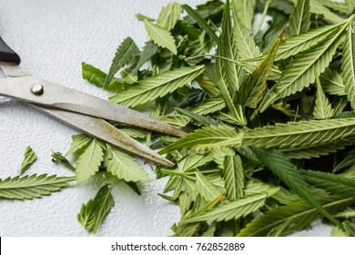 Freshly harvested Medical Marijuana grown at home. Close up of a Cannabis leaves after being trimmed. Sativa. Indica. Hybrid Hemp. Cola. Resin. Healing. Mental Health. Bud