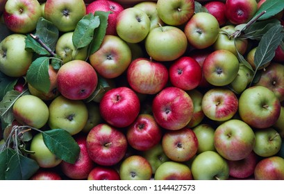 Freshly harvested organic apples in wooden crate. Large group of fresh apples from the farm.