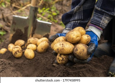 Freshly harvested organic potato harvest. Farmer in garden - Shutterstock ID 1797458995