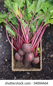 Freshly harvested organically grown beetroot. Crop with leaves and stalks still on set in a wicker type basket shot from above on a soil background.