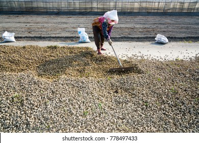 Freshly harvested peanuts dry on the ground