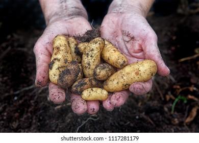 Freshly harvested potatoes in the hands over dark garden soil