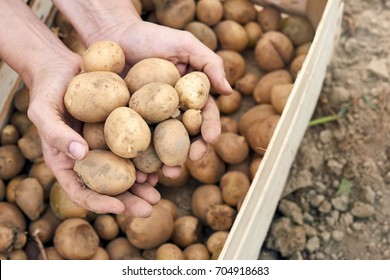 Freshly Harvested Potatoes Harvesting Potatoes. Fresh Potatoes Dig From Ground With hands.