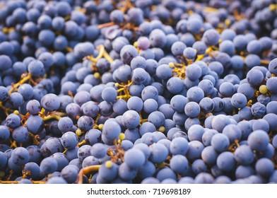 freshly harvested red grape background