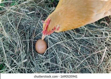 A freshly laid Buff Orpington egg.