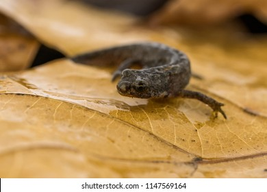 Freshly metamorphosed great crested newt sitting on leaf litter