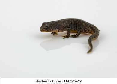 Freshly metamorphosed great crested newt sitting on a reflective white background