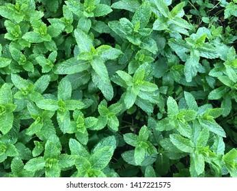 freshly minted mint for tea