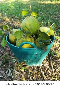 Freshly pick pomelos in green plastic basket