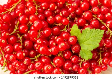 Freshly picked belgian organic redcurrants background, top view. red currant with leaf