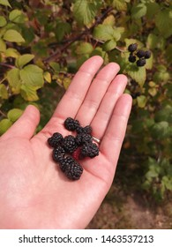 Freshly picked blackberries in palm. Woman holding handful of blackberries.