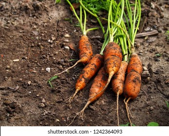 Freshly picked carrots on the ground