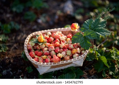 Freshly picked cloudberries (Rubus chamaemorus) in a wicker basket. Season: Summer. Location: Western Siberian taiga.