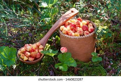 Freshly picked cloudberries (Rubus chamaemorus). Season: Summer. Location: Western Siberian taiga.