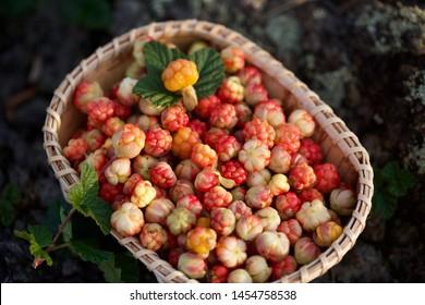 Freshly picked cloudberries in a wicker basket. Season: Summer. Location: Western Siberian taiga.
