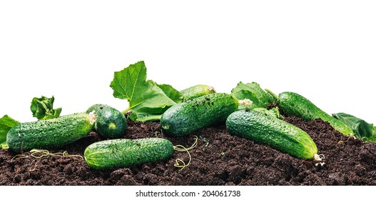 freshly picked cucumbers on the ground isolated on white background