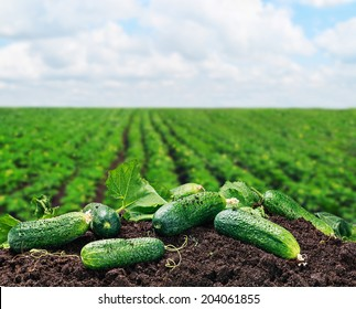 freshly picked cucumbers on the ground on a background of field