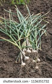 Freshly Picked Garlic Bulbs on a Soil