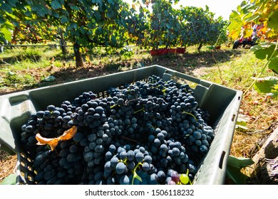 Freshly picked grapes during the harvest in Moncao, Portugal.