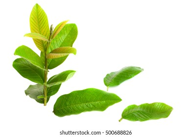 Freshly picked green Guava (Psidium Guajava) leaves isolated on white.