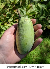 A freshly picked green pawpaw fruit being held in a caucasian hand in the morning sun with leaves and grass in the background on a sunny day
