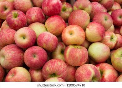 Freshly picked honeycrisp apples