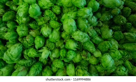 Freshly picked hops flowers ready for drying or cooking a special beer called Fresh Hop or Harvest Ale