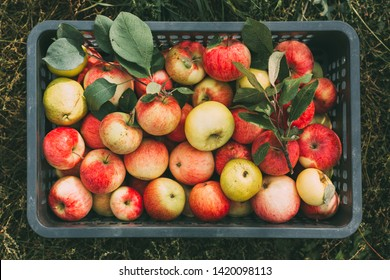 Freshly picked organic apples in a box. Organic food. Top view