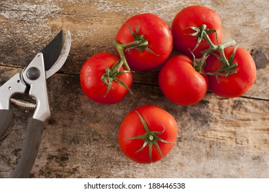 Freshly picked ripe red tomatoes off the vine lying on an old rustic wooden garden table with a pair of pruning shears or secateurs, overhead view