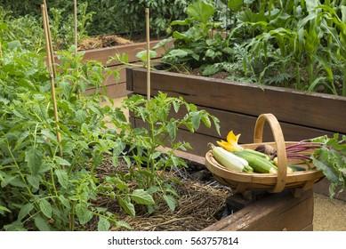 freshly picked vegetables in trug with vegetable garden background