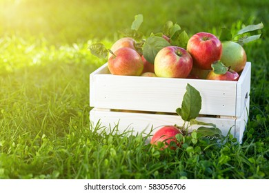 Freshly pickled ripe organic apples in white wooden crate on green grass, outside in garden, nobody.