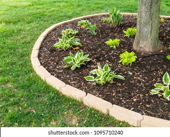 Freshly planted hostas seedlings around a tree trunk in a neat circular flowerbed in a manicured lawn in spring