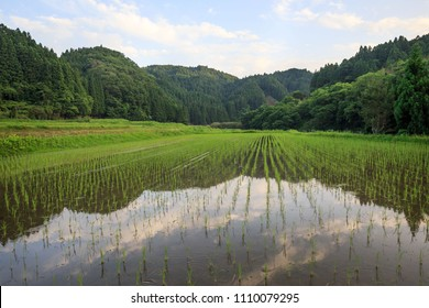 Freshly planted rice with reflected sky in flooded field
