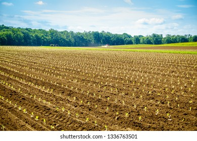 Freshly planted tobacco sprouts in the field in Central Kentucky