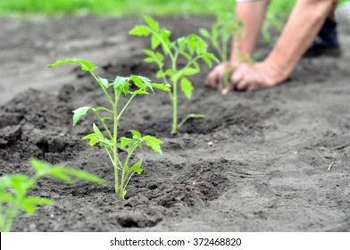 freshly planted tomato seedlings in the vegetable garden, selective focus on foreground