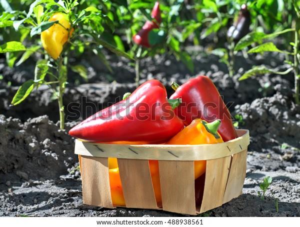 Freshly Plucked Sweet Pepper Basket Garden Stock Photo Edit Now