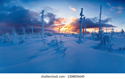 Freshly snowy trees at the sunset. Sumava national park in the Czech republic.