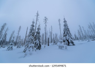 Freshly snowy trees in winter. Sumava national park in the Czech republic.