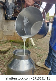 The freshly squeezed milk is put into the milk container