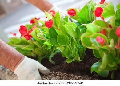 Freshly transplanted cyclamen plants