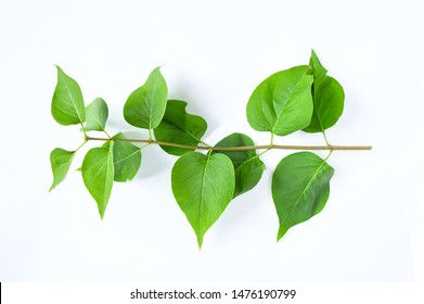 Freshness branch green leaves of Lilac flower on white background.
