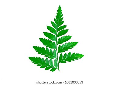 Freshness Green leaf of Fern on white background. The tropical forest is a bare frame with rich green fern leaves found in hot climates in southern Asia.