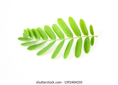 Freshness green leaves of young tamarind plant on white background isolated .The evergreen leaves are alternately arranged and pinnately lobed. The leaves are bright green. Sensitive focus background