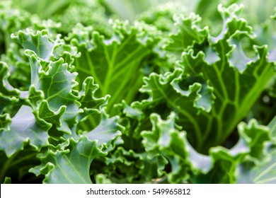 Freshness Ornamental Kale and cabbage, green background