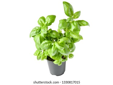Freshness plant basil or Italy basil with green narrow leaves and purple stem in black pot for plant in garden, often use in souteeast asia kitchen,  aroma and decoration in plate, herbe plant concept