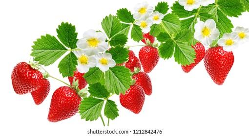 freshness strawberries on white