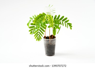 Freshness  young tamarind plant growth in glass on white background isolated .The evergreen leaves are alternately arranged and pinnately lobed. The leaves are bright green. Sensitive focus background